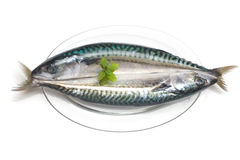 Atlantic mackerel. scomber scombrus Stock Photography