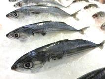 Atlantic mackerel Scomber scombrus fish on ice. Close up fresh atlantic mackerel Scomber scombrus fish on ice Royalty Free Stock Images