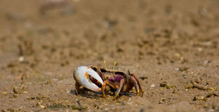 Atlantic marsh fiddler crab Royalty Free Stock Photography