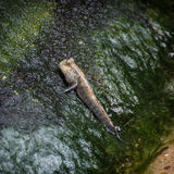 Atlantic mudskipper (Periophthalmus barbarus) Stock Image