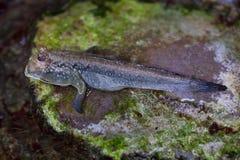 Atlantic mudskipper Periophthalmus barbarus. Royalty Free Stock Images