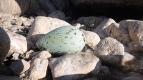 Atlantic murre (Uria aalge) egg