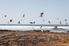 Atlantic ocean coast with many seagulls Royalty Free Stock Photography