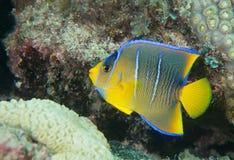 An Atlantic ocean species of marine animal. Royalty Free Stock Photos