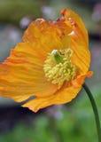Atlantic Poppy Royalty Free Stock Images