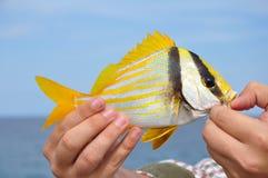 Atlantic porkfish Stock Image