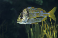 Atlantic Porkfish tropical fish Royalty Free Stock Images