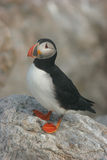 Atlantic Puffin. Wild Atlantic Puffin sitting on a rock Stock Photos