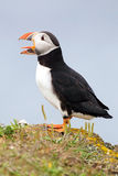 Atlantic Puffin. Closeup of an Atlantic Puffin with a funny expression royalty free stock image