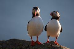 Atlantic puffin Royalty Free Stock Photos