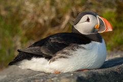Atlantic puffin Stock Images
