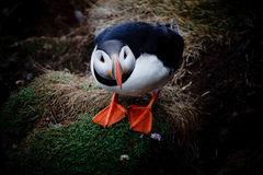 Atlantic puffin. In West Fjords, Iceland Stock Photo
