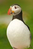 Atlantic Puffin. Profile in Maine Stock Photo