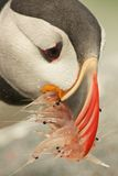Atlantic Puffin. With a beak full of krill royalty free stock images