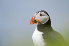 Atlantic Puffin. Portrait of Puffin through grass Royalty Free Stock Photos