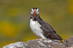 Atlantic puffin. Looks puzzled at the camera Stock Photos