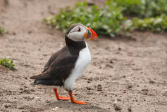Atlantic puffin Royalty Free Stock Image
