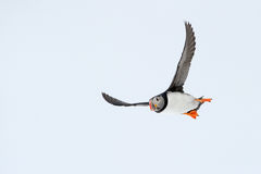 Atlantic Puffin. Flying seen from below against blue sky royalty free stock photo