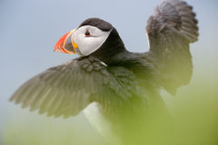 Atlantic puffin. (Fratercula arctica) with wings spread and shallow depth of field Stock Photography