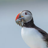 Atlantic Puffin. An atlantic puffin on the farne-islands with a lot of eel in his mouth Royalty Free Stock Photography