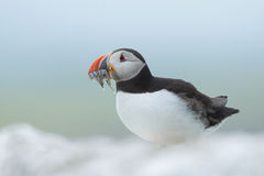 Atlantic puffin. With fish in his mouth Royalty Free Stock Images