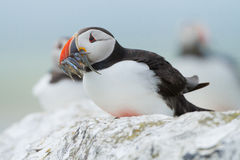 Atlantic puffin. Close-up with fish in his mouth Stock Images
