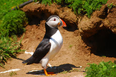 Atlantic Puffin. About to enter a burrow on the Welsh Island of Skomer Royalty Free Stock Image