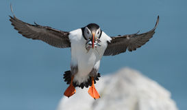 Free Atlantic Puffin Stock Photos - 96494253