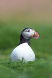 Atlantic Puffin (Alca Arctica). Puffin amongst the ground cover of The Wick on Skomer Island stock photos