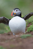 Atlantic Puffin (Alca Arctica). Puffin amongst the ground cover of The Wick on Skomer Island royalty free stock images