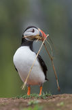 Atlantic Puffin (Alca Arctica). Puffin amongst the ground cover of The Wick on Skomer Island stock images