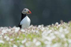 Atlantic Puffin (Alca Arctica). Puffin amongst the ground cover of The Wick on Skomer Island royalty free stock image