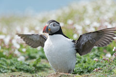 Atlantic Puffin (Alca Arctica). Puffin amongst the ground cover of The Wick on Skomer Island stock image