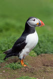 Atlantic Puffin (Alca Arctica). Puffin amongst the ground cover of The Wick on Skomer Island royalty free stock photo