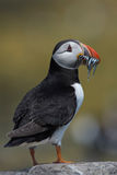 Atlantic Puffin Alca arctica. Puffin on rocky coastline of the Farne Islands royalty free stock images