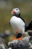 Atlantic Puffin Alca arctica. Puffin on rocky coastline of the Farne Islands stock photography