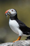 Atlantic Puffin Alca arctica. Puffin on rocky coastline of the Farne Islands royalty free stock photo