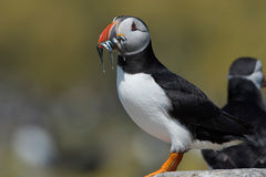 Atlantic Puffin Alca arctica. Puffin on rocky coastline of the Farne Islands royalty free stock image