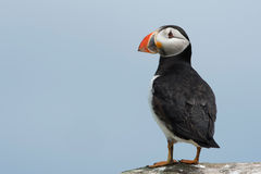 Atlantic Puffin Alca arctica. Puffin on rocky coastline of the Farne Islands royalty free stock photography