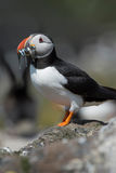 Atlantic Puffin Alca arctica. Puffin on rocky coastline of the Farne Islands royalty free stock photos