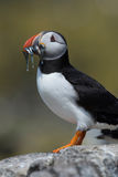 Atlantic Puffin Alca arctica. Puffin on rocky coastline of the Farne Islands stock image