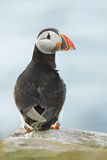 Atlantic puffin alone Stock Image