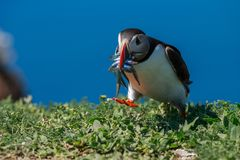 An Atlantic puffin with a beak full of sand eels stock photography