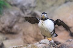 Atlantic puffin. On the rock Stock Photo