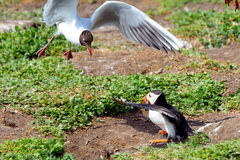 Atlantic puffin attacked by gulls, Farne Islands Nature Reserve, Stock Photo