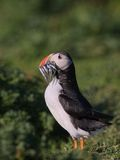 Atlantic Puffin with beak full of Sandeals 5 Royalty Free Stock Image