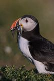Atlantic Puffin with beak full of sandeels 2. An Atlantic Puffin returns to the breeding colony on Skokholm Island with a beak full of fish for its young chick Royalty Free Stock Photography