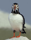 Atlantic Puffin with a Beakful of Fish Stock Photos