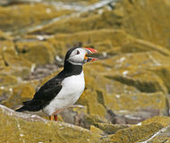 Atlantic Puffin bill open Royalty Free Stock Photo