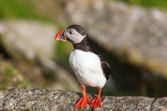 Atlantic Puffin bird Stock Images